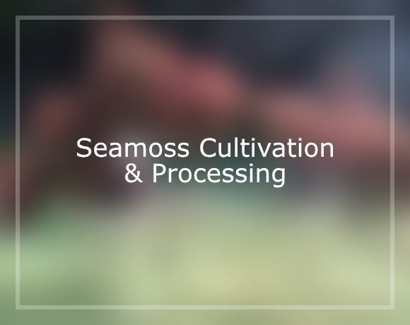 Seamoss Cultivation & Processing